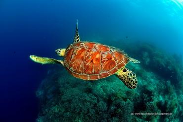 Schildkröte - Tauchsafari Philippinen