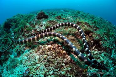Seeschlangen - Tauchsafari Philippinen